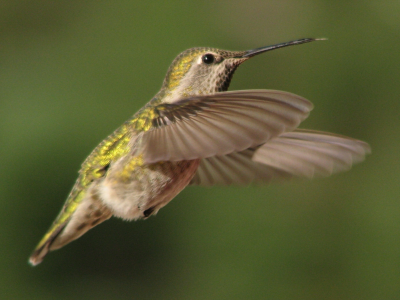 humming bird algorithm